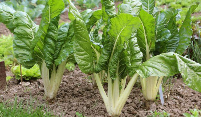 Acelga, una verdura muy apreciada