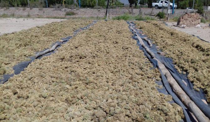 Cosecha de semilla de cebolla Angaco INTA