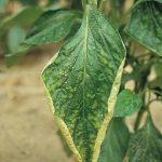 Como Identificar la falta de nutrientes en las plantas